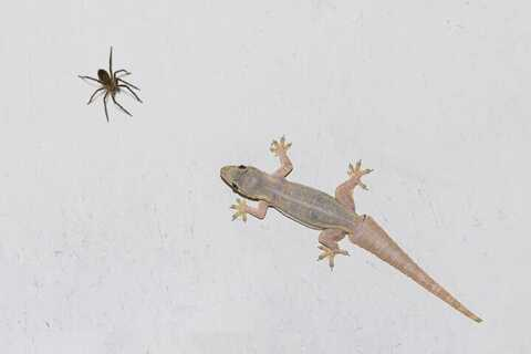 lizard and spider control